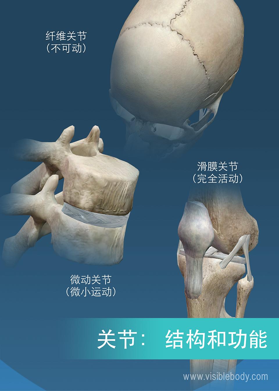 不同关节的总结,缝、膝关节、椎骨