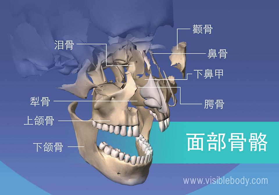 面部骨骼: 泪骨、颧骨、上颌骨和下颌骨