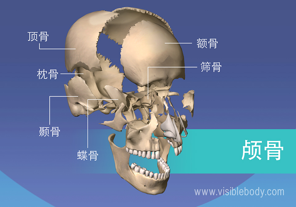 头颅的骨骼