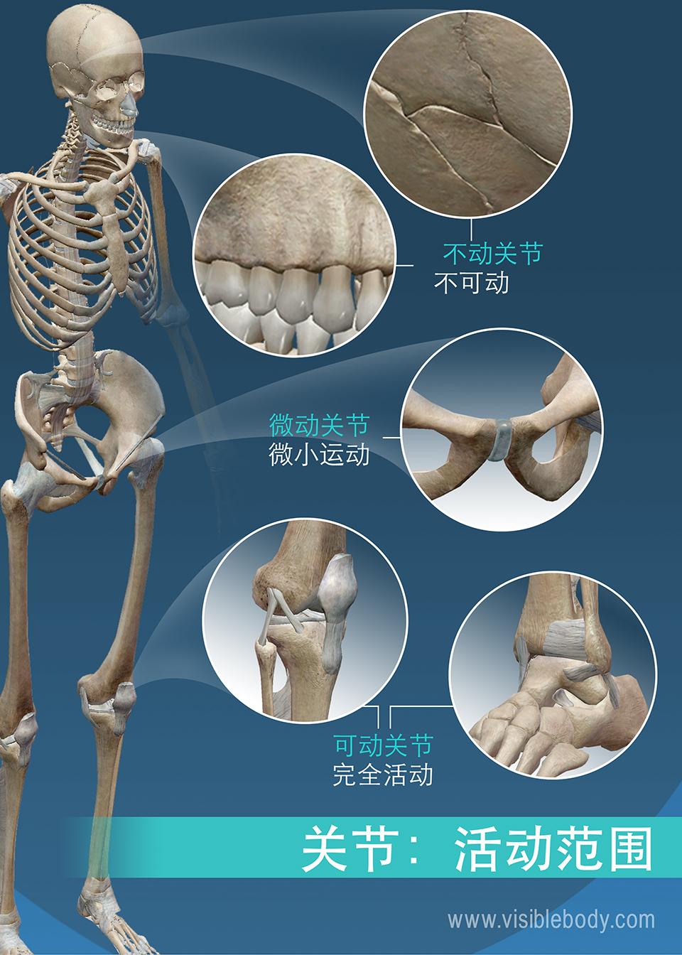 关节类型可以按活动范围分类: 不动关节、微动关节和可动关节