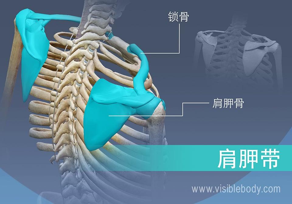 肩带的骨骼
