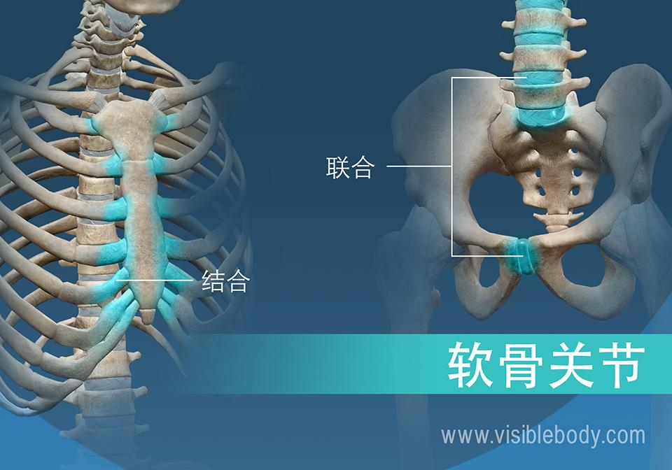 透明软骨结合和纤维软骨联合,两种类型的软骨关节