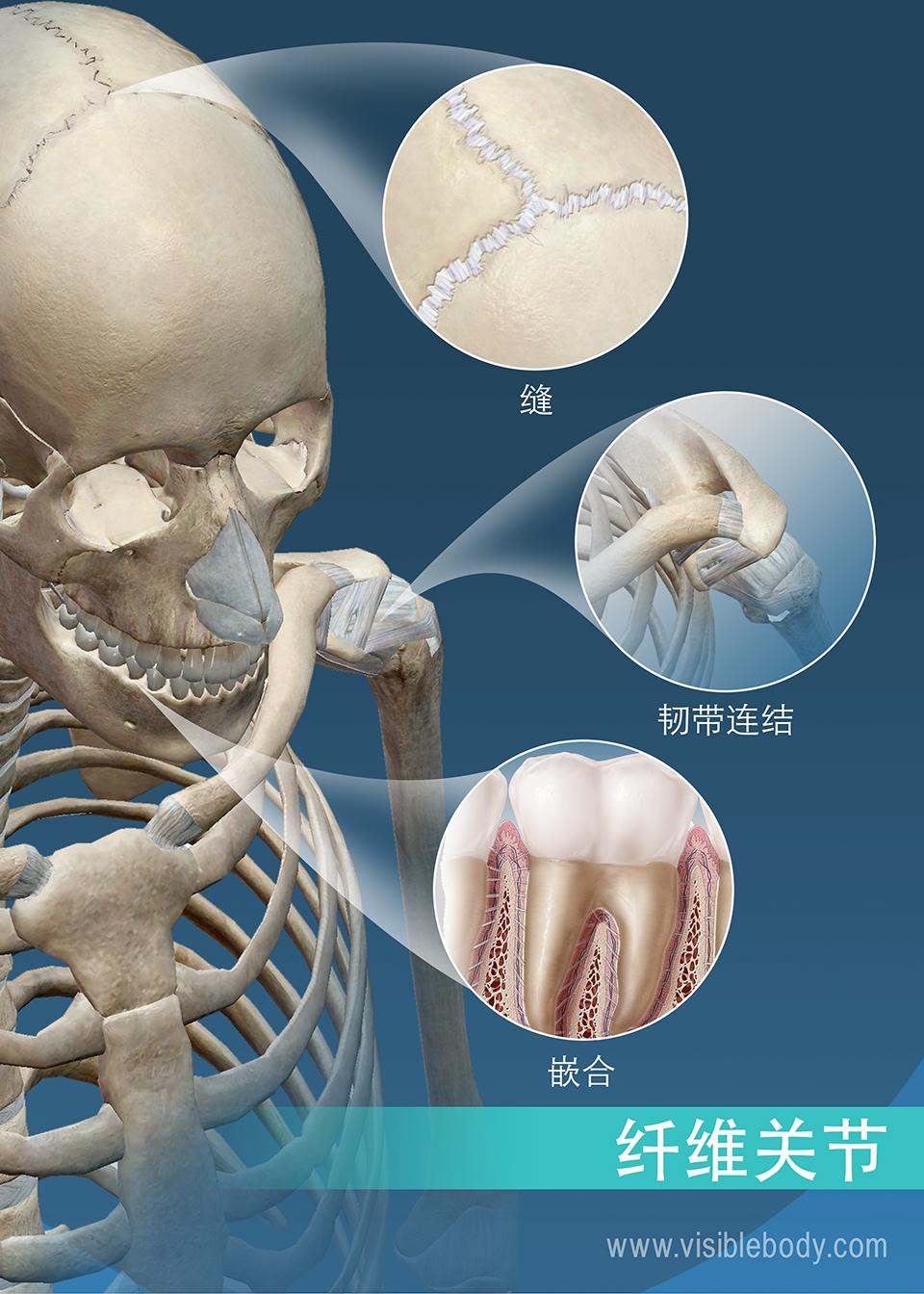 缝、韧带结合关节和钉状关节: 纤维关节