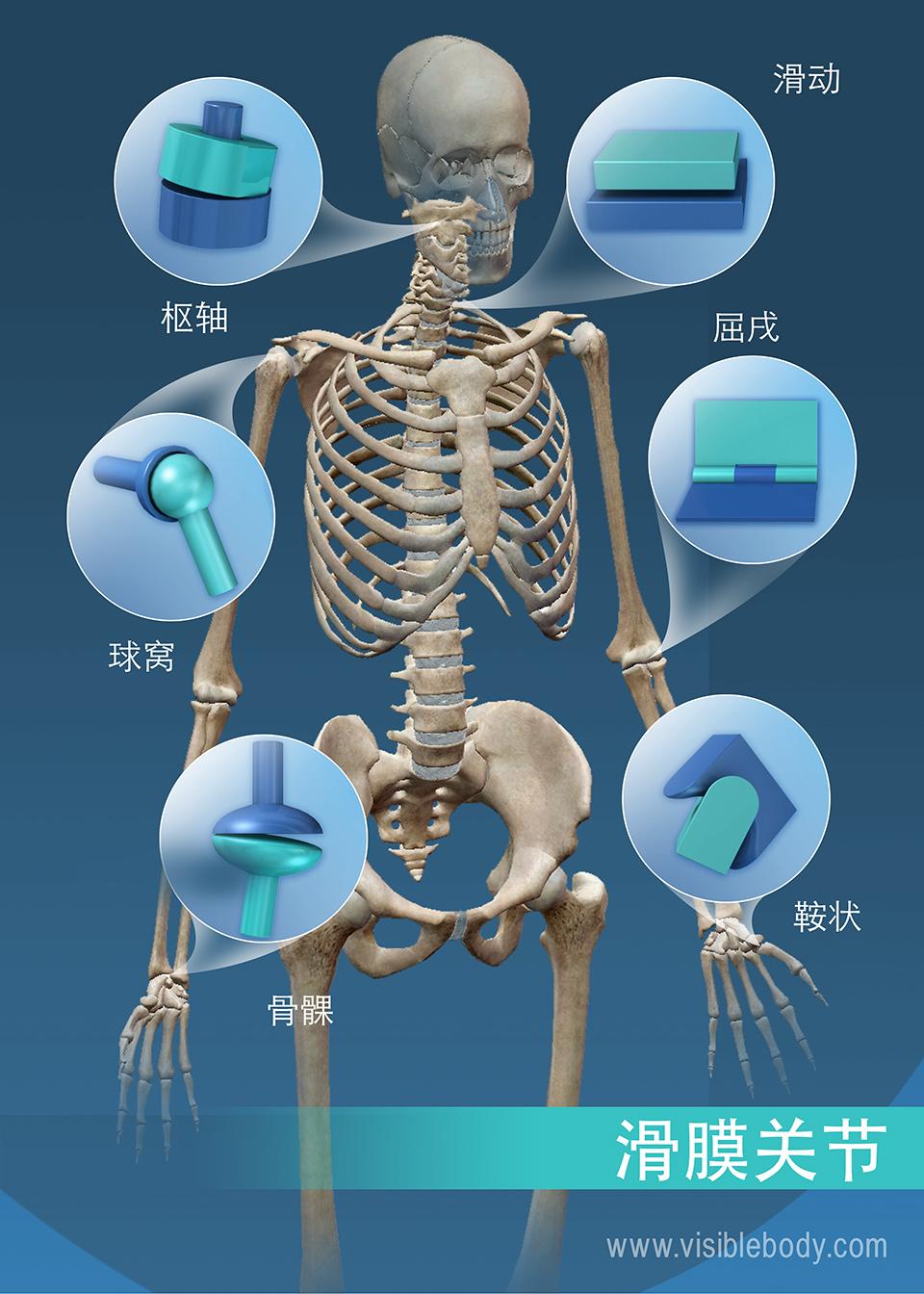 滑膜关节的活动范围: 枢轴、球窝、髁状、鞍状、屈戌和滑动关节