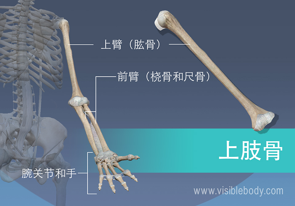 肱骨、桡骨、尺骨以及手腕和手的骨骼