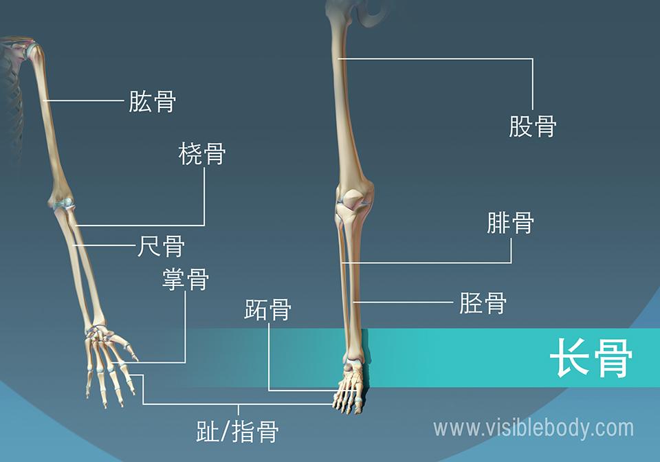 9个人体中长骨的例子