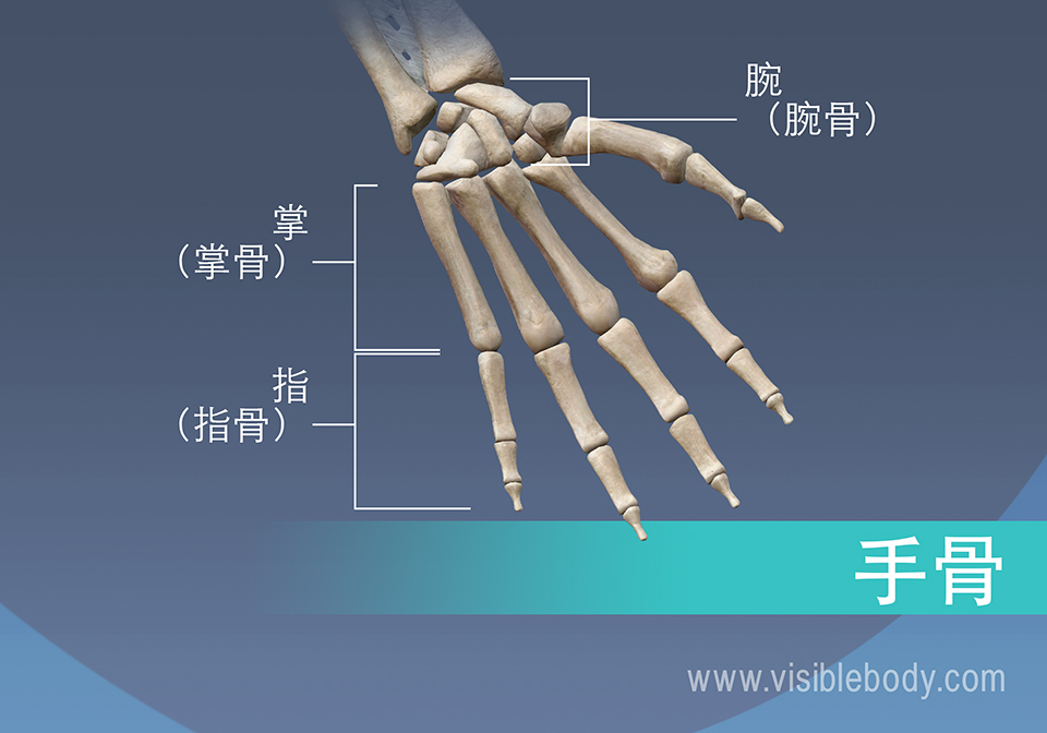 手的骨骼,掌骨、近节、中节和远节指骨