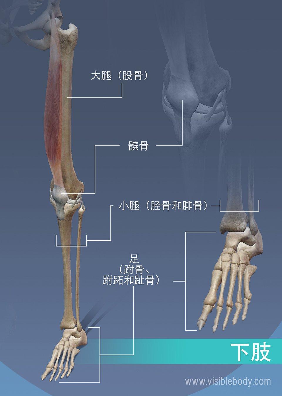 下肢的大腿骨、小腿骨和膝盖骨