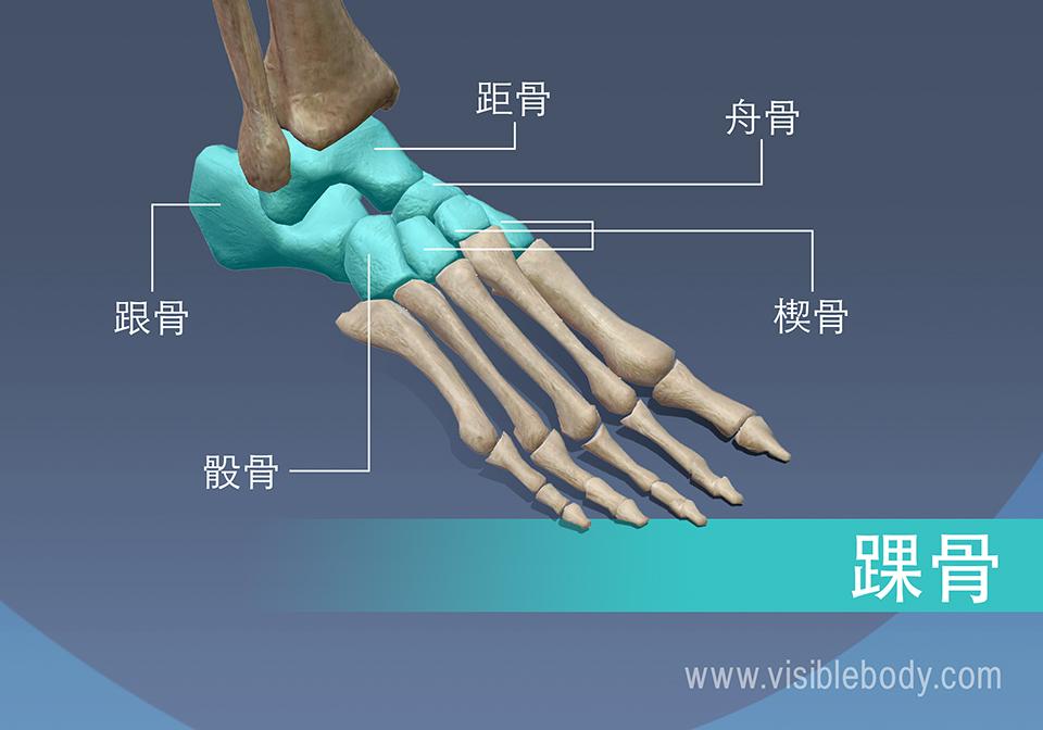 踝骨、距骨、舟骨、楔骨、跟骨和骰骨