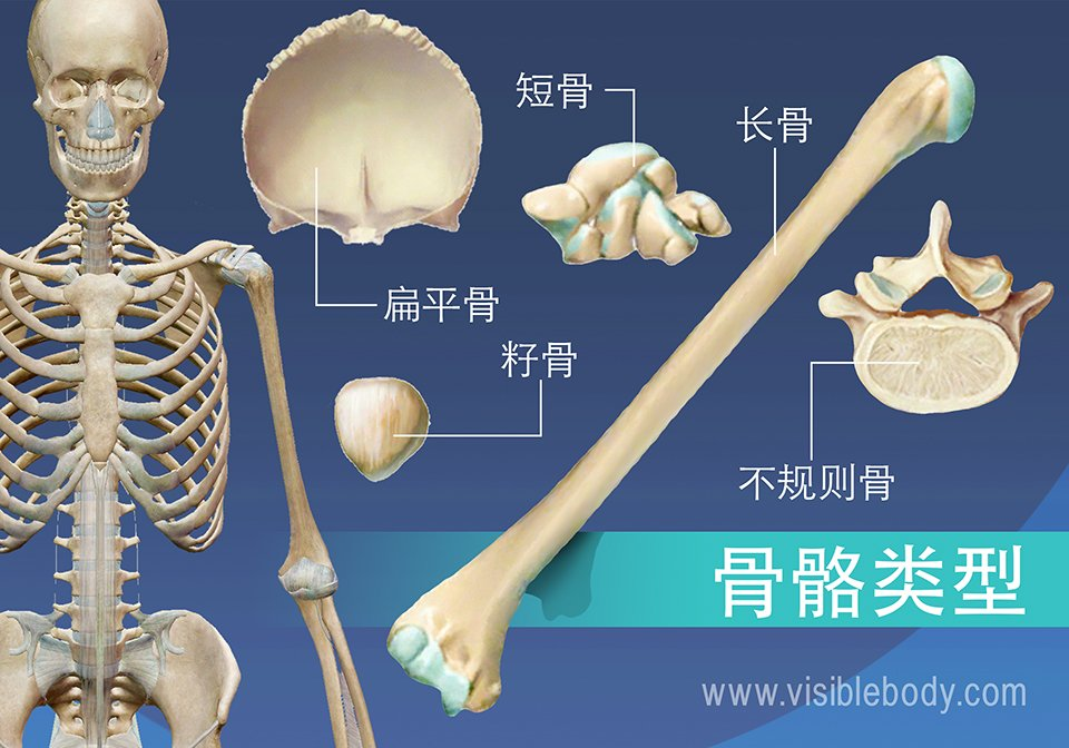 5种骨骼类型的概述,长骨、短骨、扁骨、不规则骨、籽骨