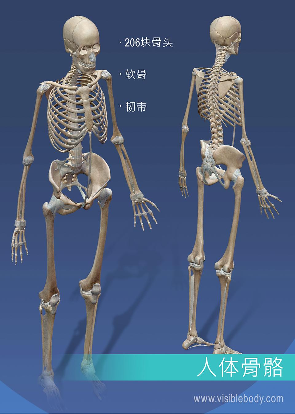 骨骼系统由206块骨骼、软骨和韧带组成