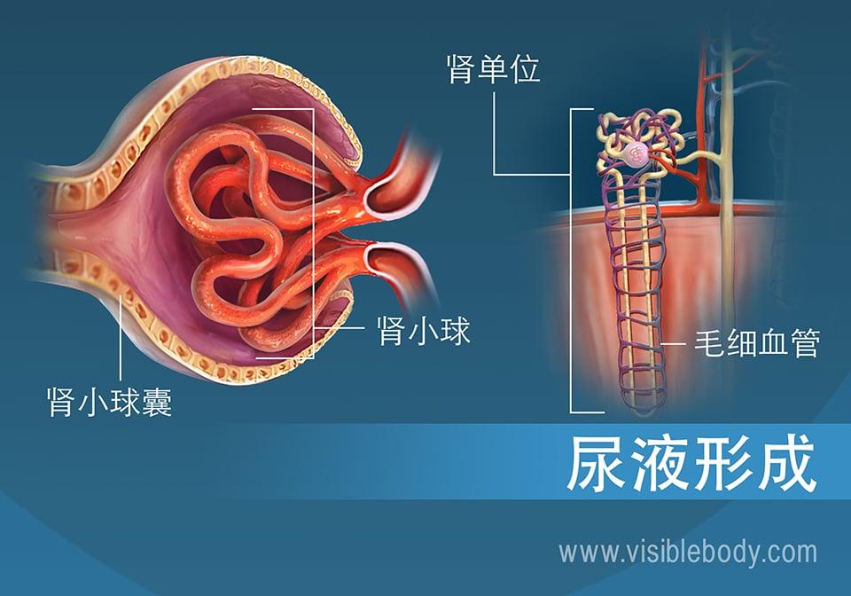 肾小球(肾单位的结构)横截面
