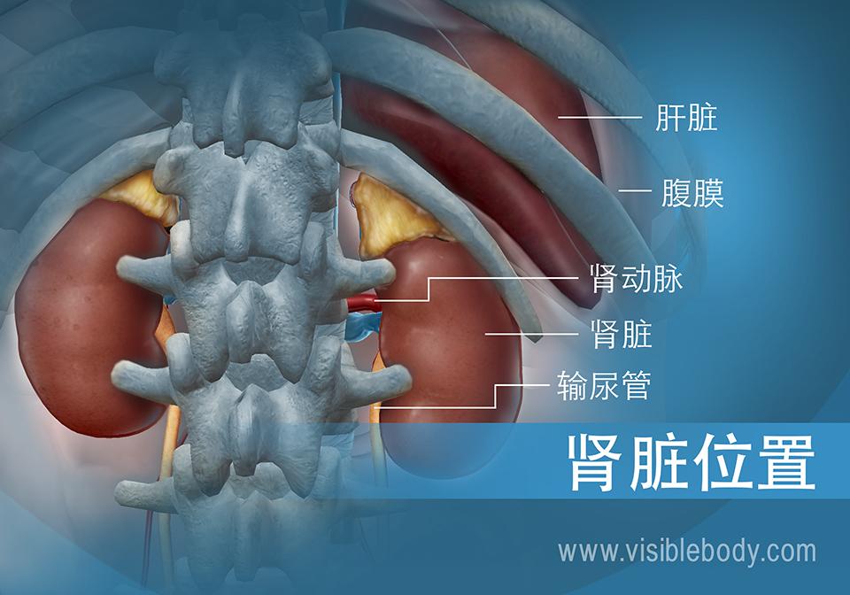 肾脏和输尿管在腹部与肝脏的相对位置