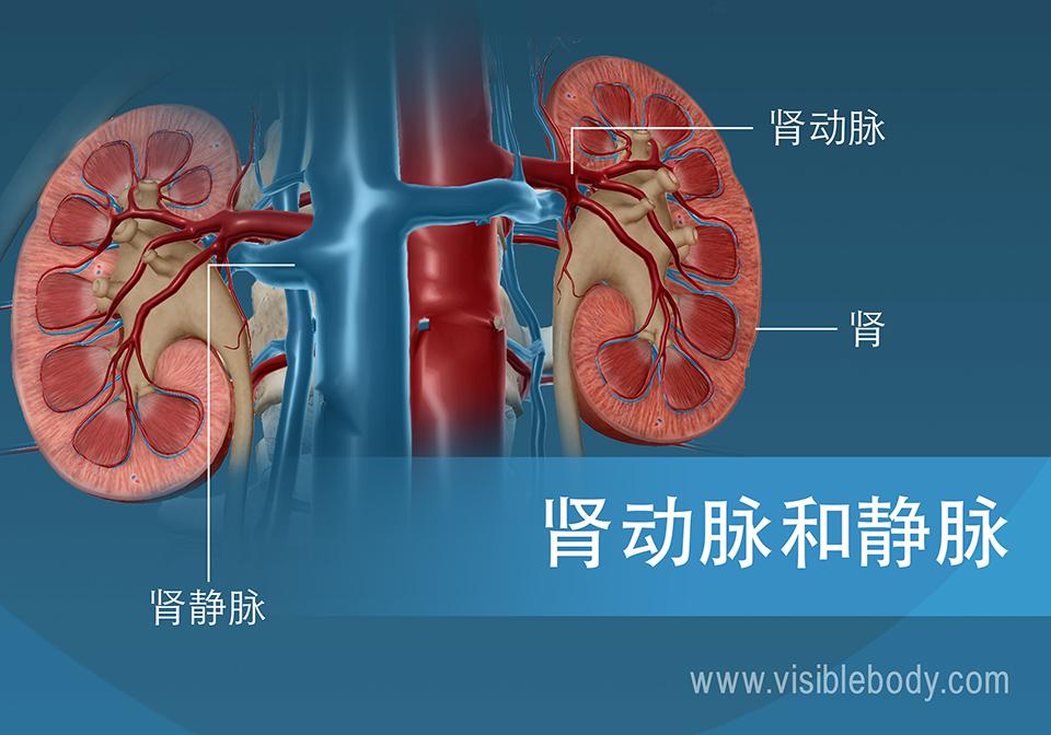 血液通过肾动脉和肾静脉流入和流出肾脏。