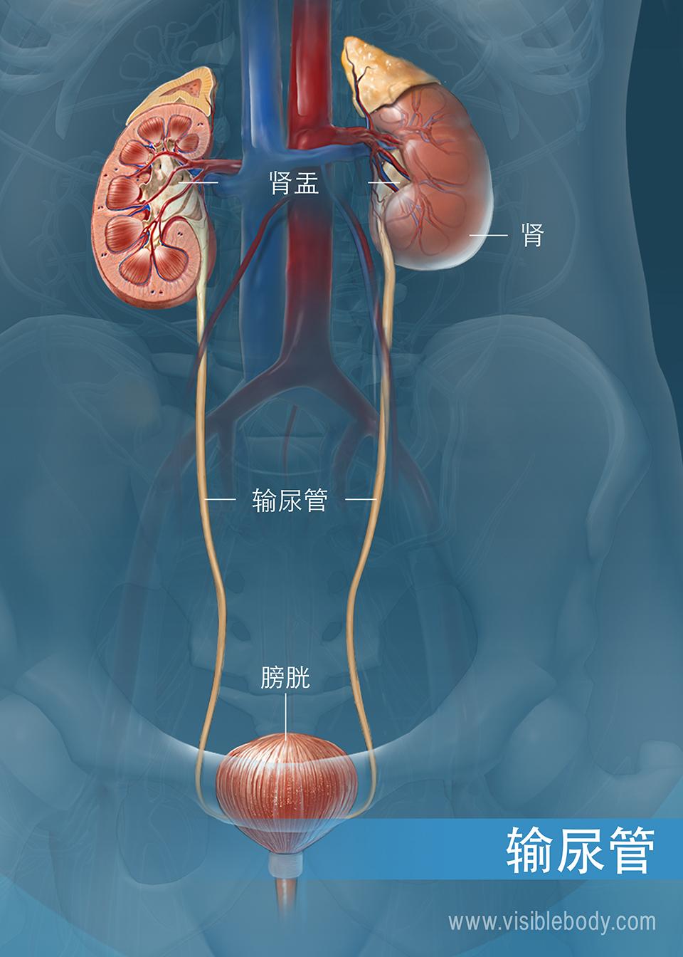 从肾脏走行至膀胱的输尿管