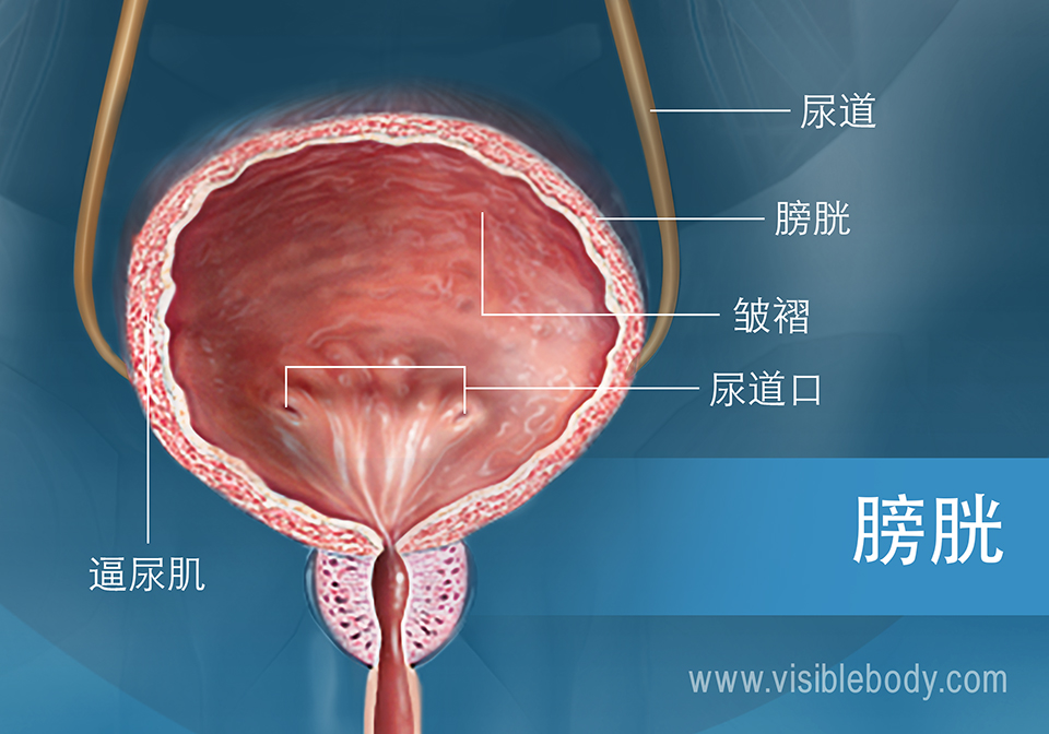 显示逼尿肌、皱褶、膀胱结构的展开视图。