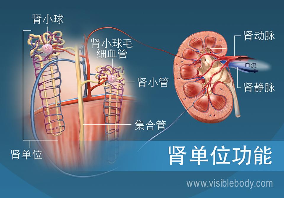 显示出肾小管、肾椎体和肾皮质的肾单元解剖结构和功能。