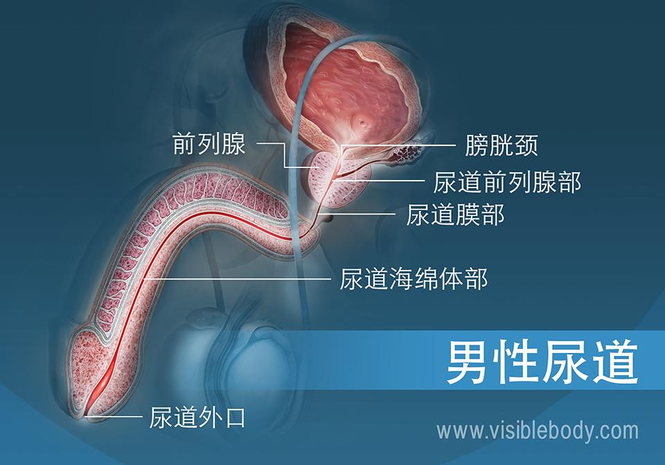 男性尿道的横截面及其三个部分
