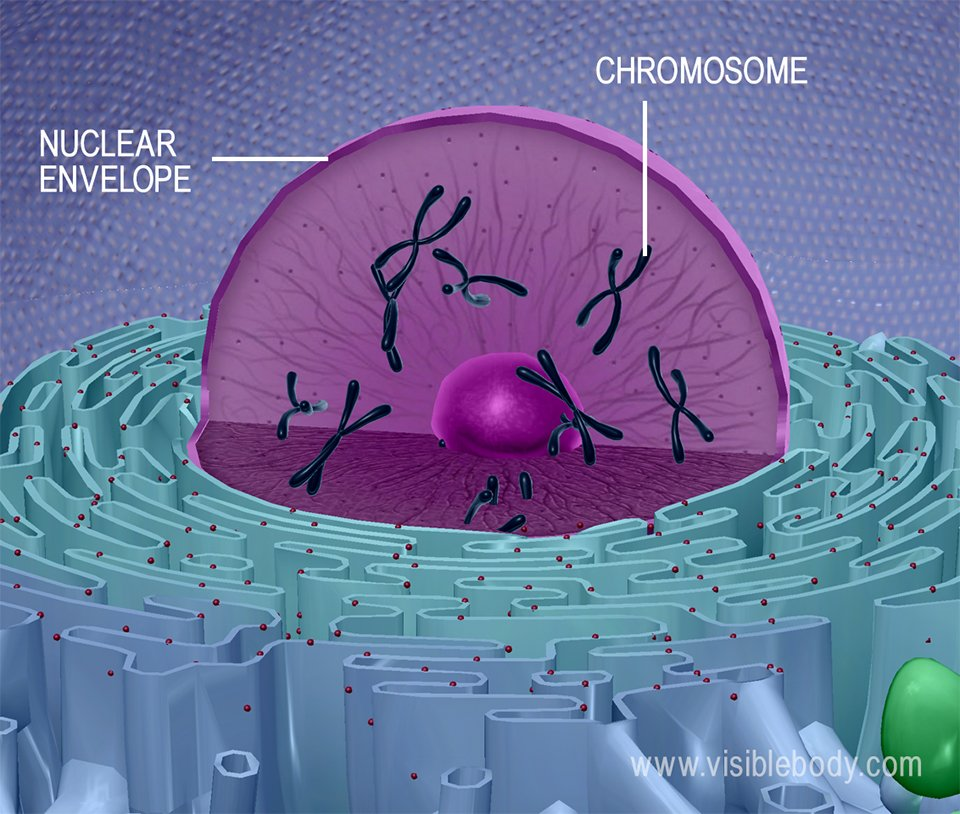 3d rendering of a cell nucleus, including chromosomes