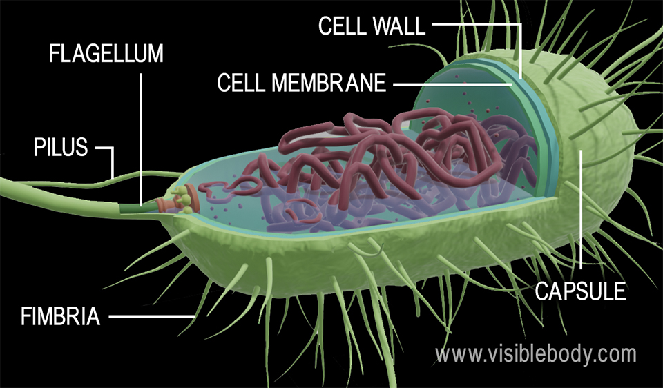 3d rendering of the structures of a bacteria cell