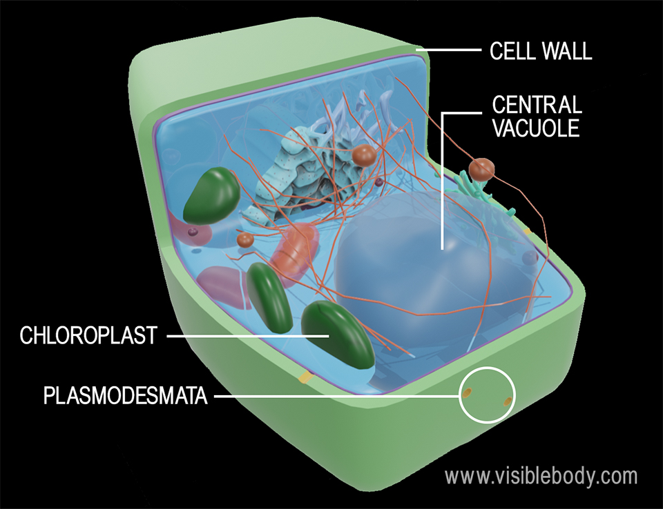 3d rendering of the structures of a plant cell