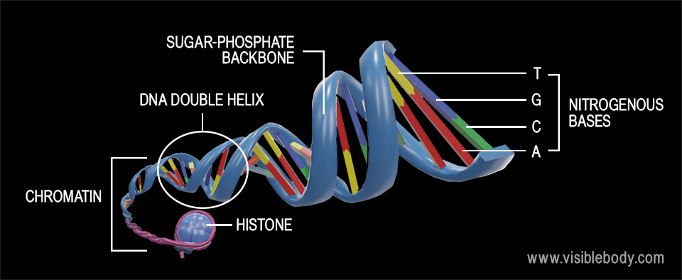 DNA is a macromolecule that consists of two polynucleotide strands—composed of units called nucleotides—twisted around a common axis in a double helix shape.