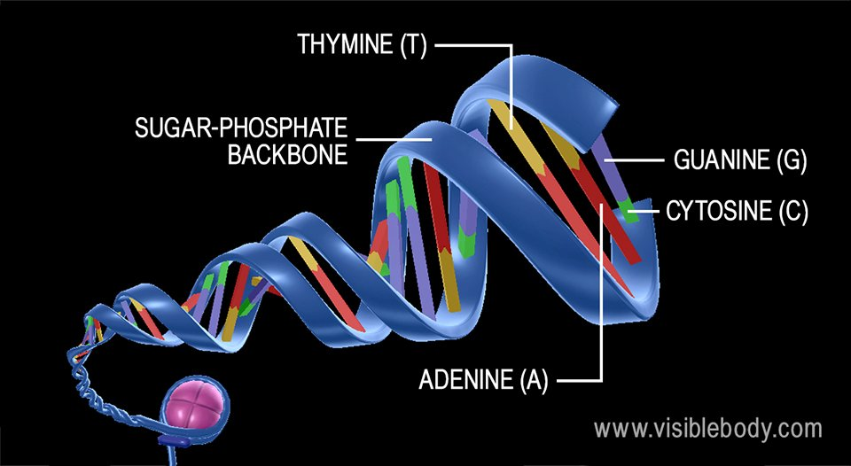 Because of their particular composition and chemical properties, adenine and thymine pair together, and cytosine and guanine pair together.