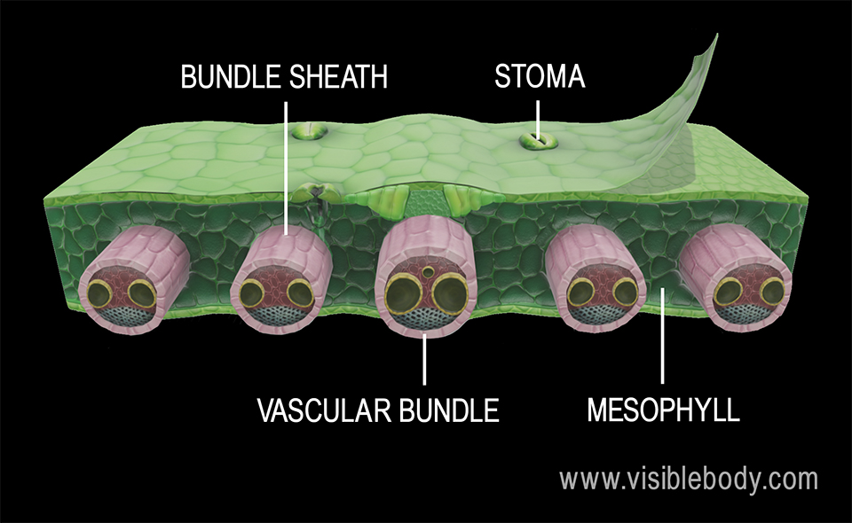 Unique features of leaves include stomata, ground tissue called mesophyll, and bundle sheaths that protect the vascular bundles.
