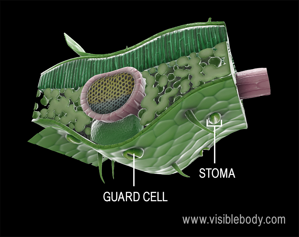 Stomata play a central role in photosynthesis, allowing carbon dioxide to enter the leaf and oxygen to exit the leaf.