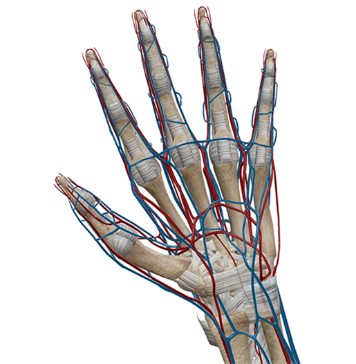 Anatomy And Physiology: 5 Medical Myths Demythified