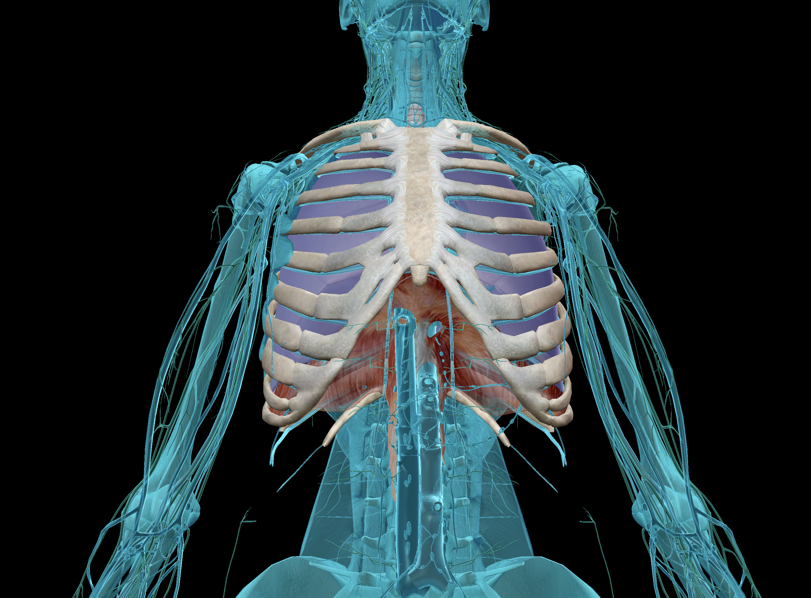 thoracic cage and lungs