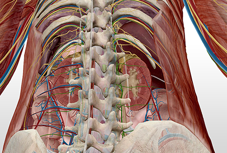 VB Courseware showing anterior view of abdominal cavity in 3d