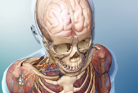 VB Courseware showing anatomy layers of the upper body in 3d
