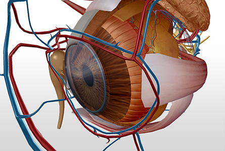 VB Courseware showing eye anatomy in 3d