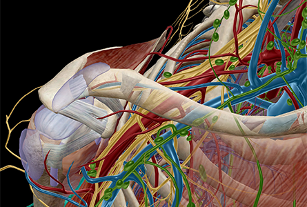 VB Courseware showing shoulder anatomy in 3d