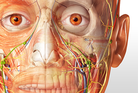 Transparent head anatomy in 3d