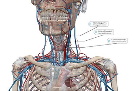 VB Courseware showing shoulder anatomy in 3d