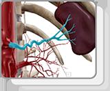 Arterias abdominales