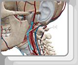 Arterias de la cabeza y el cuello