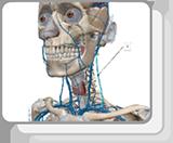 头颈静脉和静脉窦