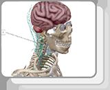 脊髓和脊神经
