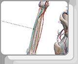 上肢和胸部动脉