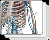 上肢和胸部静脉