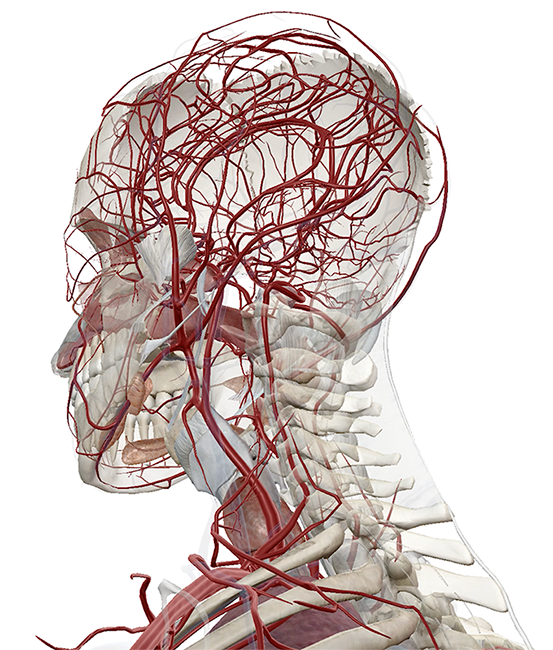Visible human anatomy