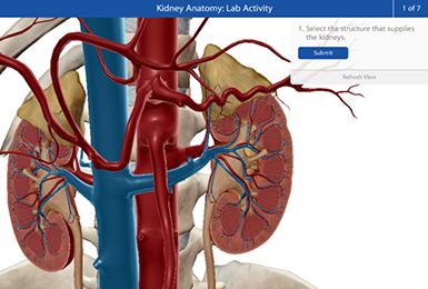 Kidney anatomy digital model